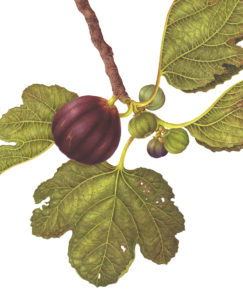 Botanical painting of a fig by Carrie Di Costanzo